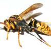 風邪の対処方法と悲劇のアシナガバチ・・・。